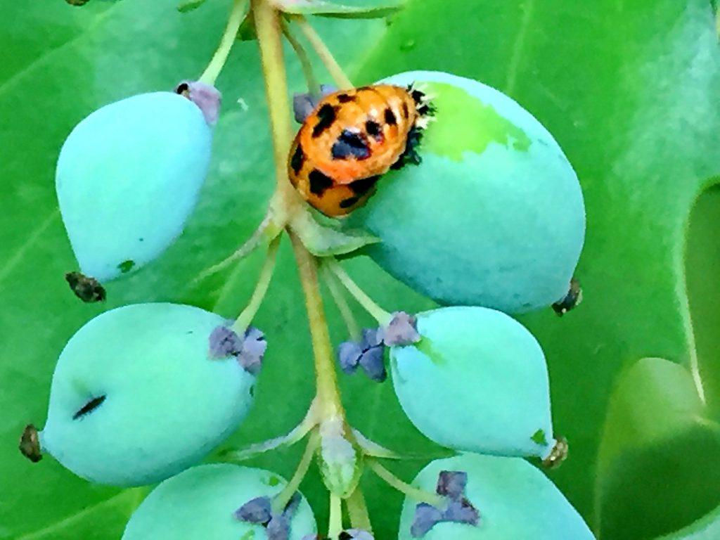 ヒイラギナンテンの果実とナミテントウの蛹