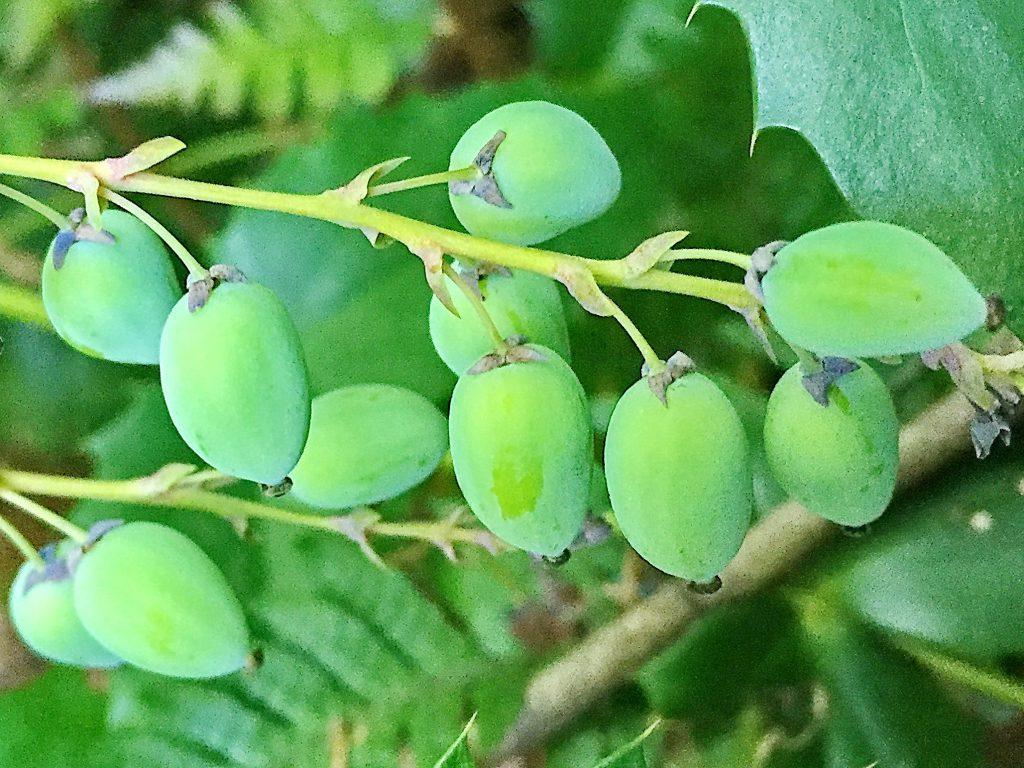 ヒイラギナンテンの果実