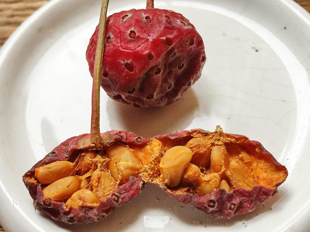 ヤマボウシの果実と種