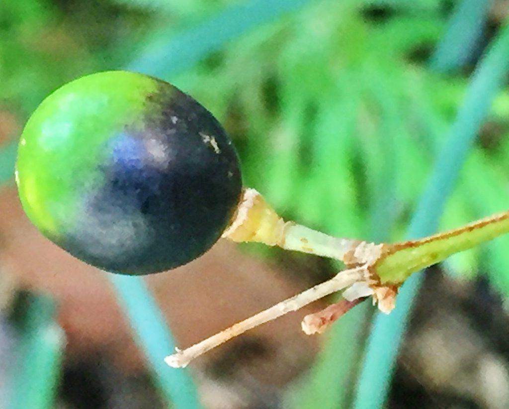 ヒメヤブランの変色中の種子