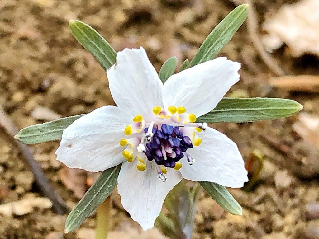 セツブンソウの花