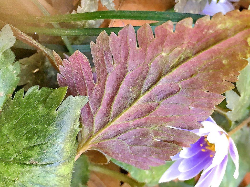 ユキワリイチゲの葉裏