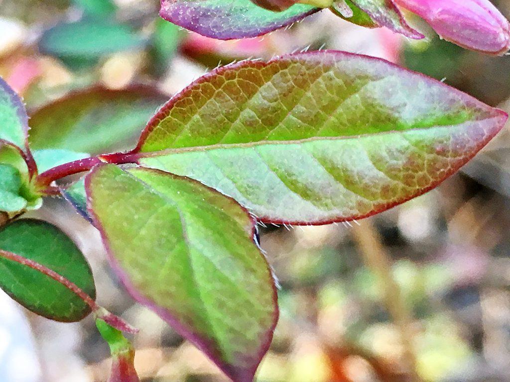 ウグイスカグラの葉
