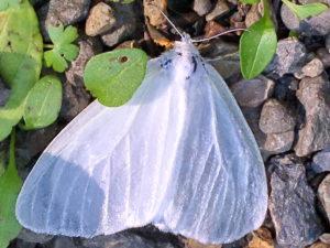 キアシドクガの成虫