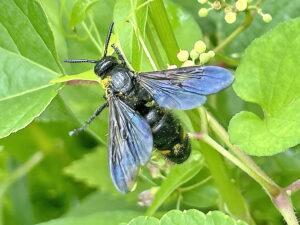 キオビツチバチ♀