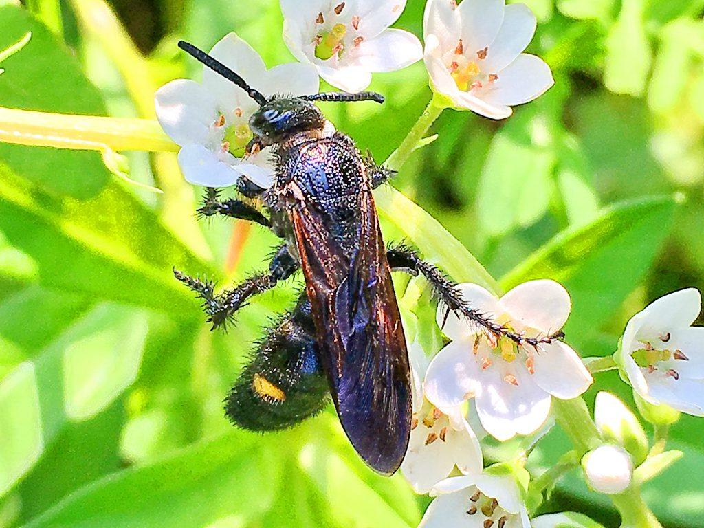 キオビツチバチ雌