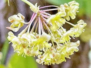 サルトリイバラの雄花