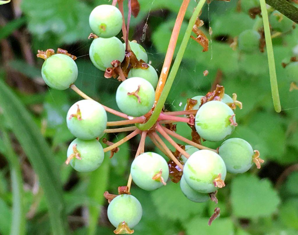 サルトリイバラの若い果実