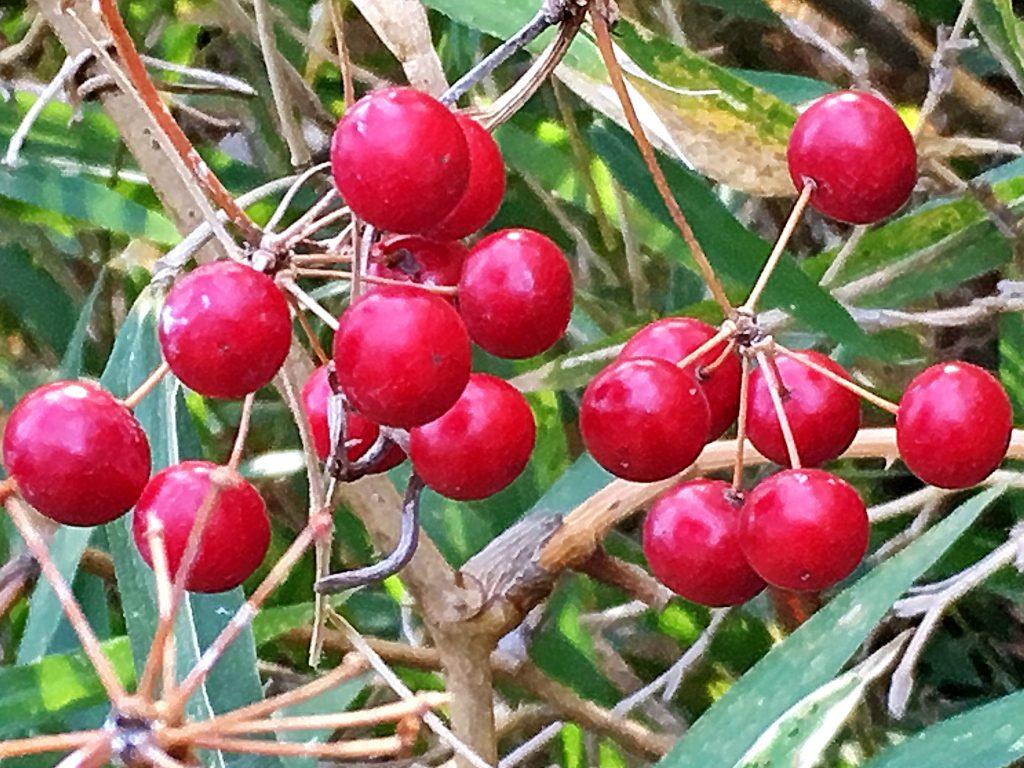 サルトリイバラの赤い果実