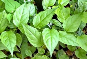 トラノオスズカケの葉