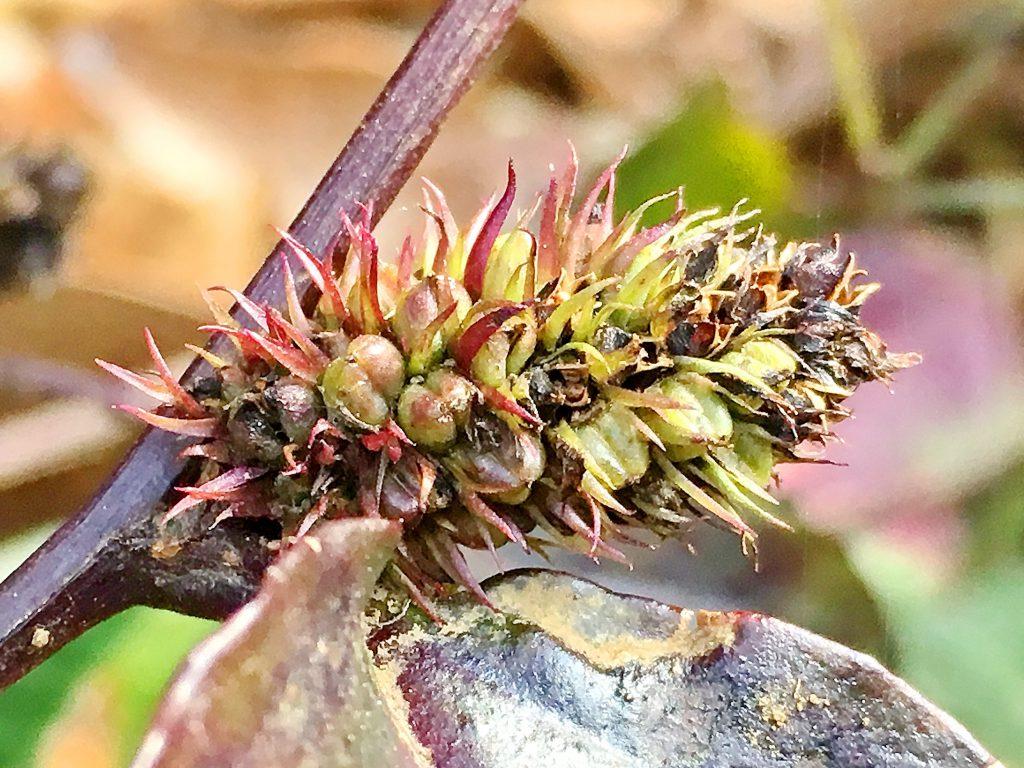 トラノオスズカケの果実