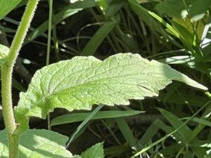 ヤマホタルブクロの葉