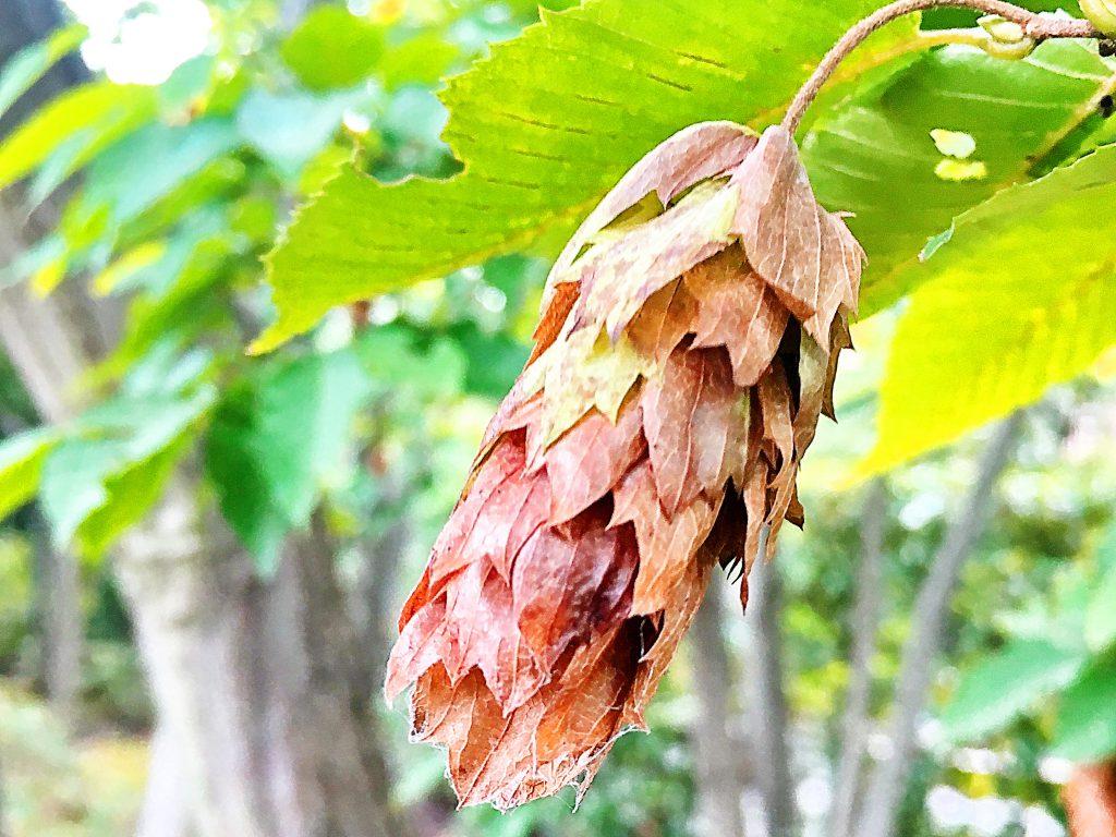 クマシデの菓穂
