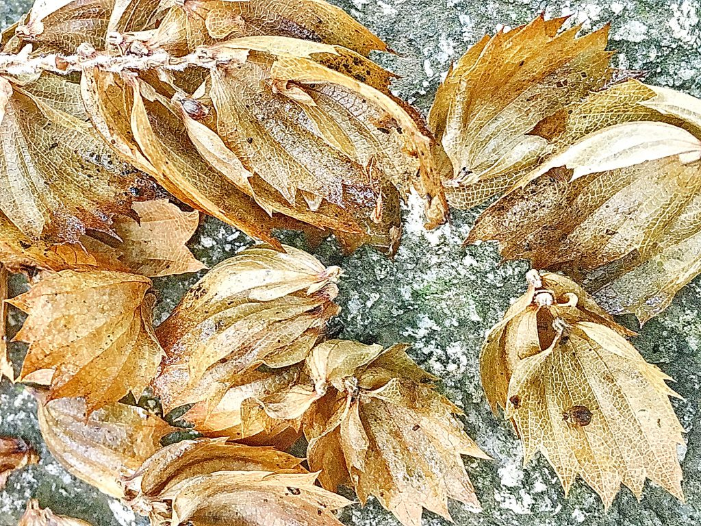 クマシデの種子