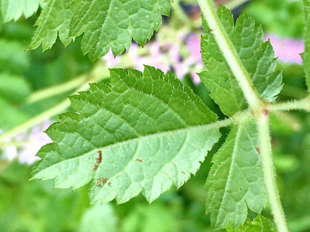チダケサシの葉裏