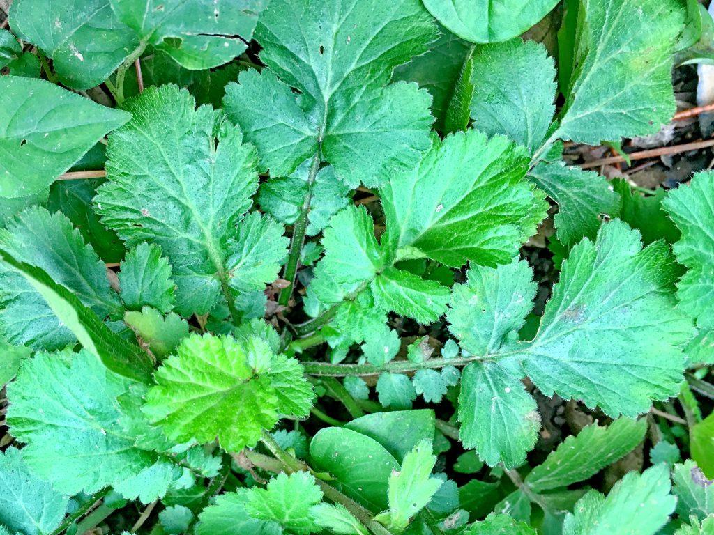 ダイコンソウの根生葉