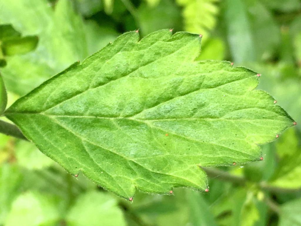 ダイコンソウの上部の茎葉