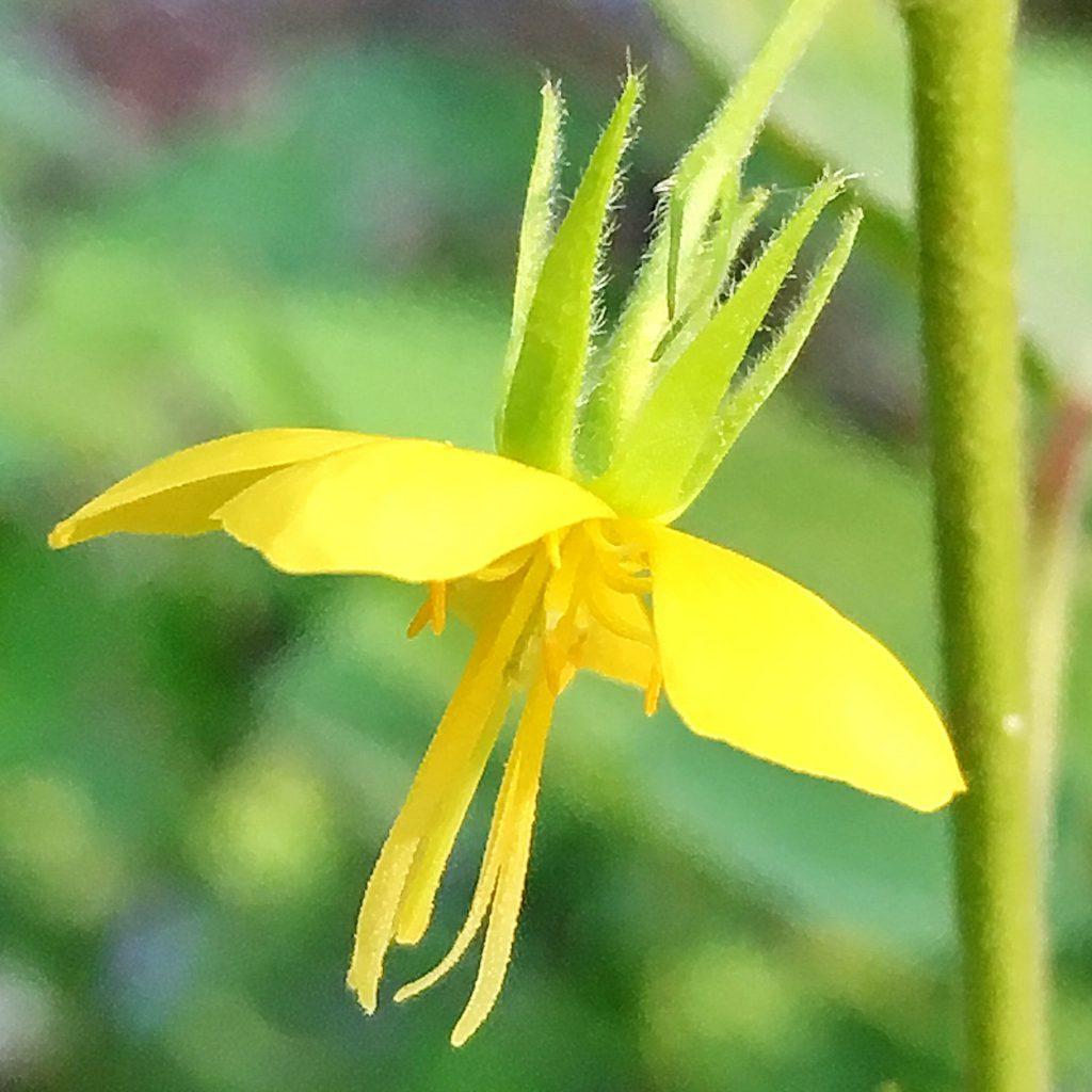 カラスノゴマの花