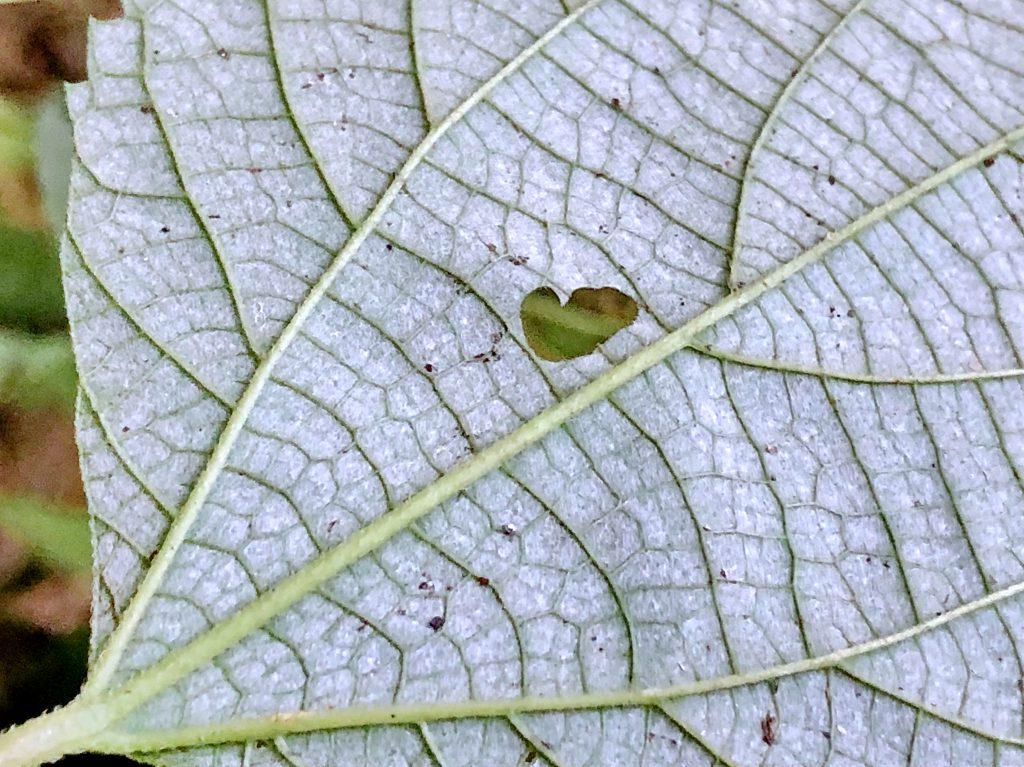 カラムシの葉裏