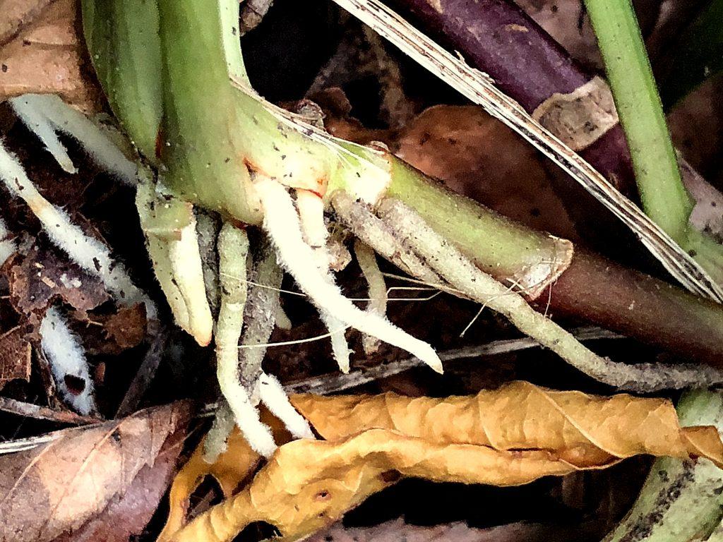 キチジョウソウの地下茎と根