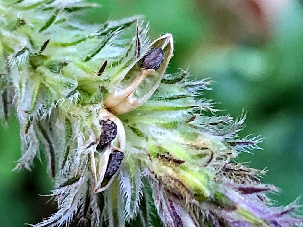 キツネノマゴの種子