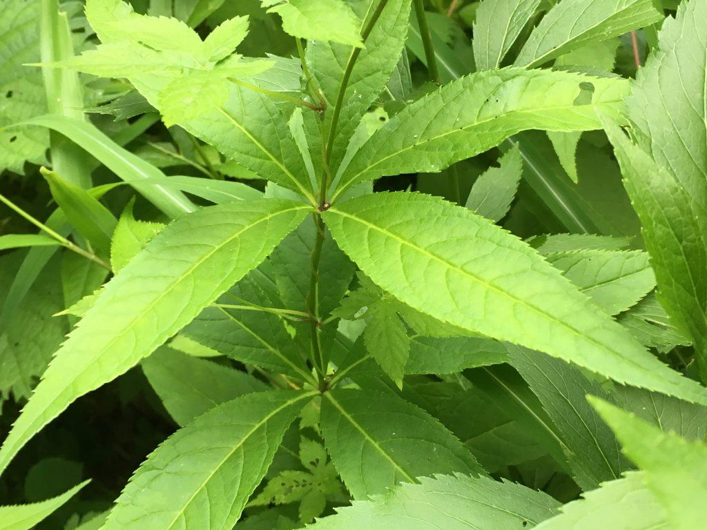 クガイソウの葉