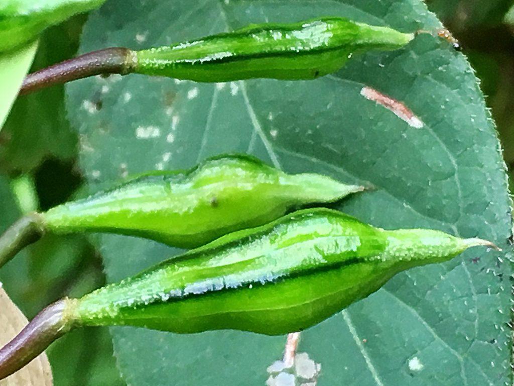 ツリフネソウの果実