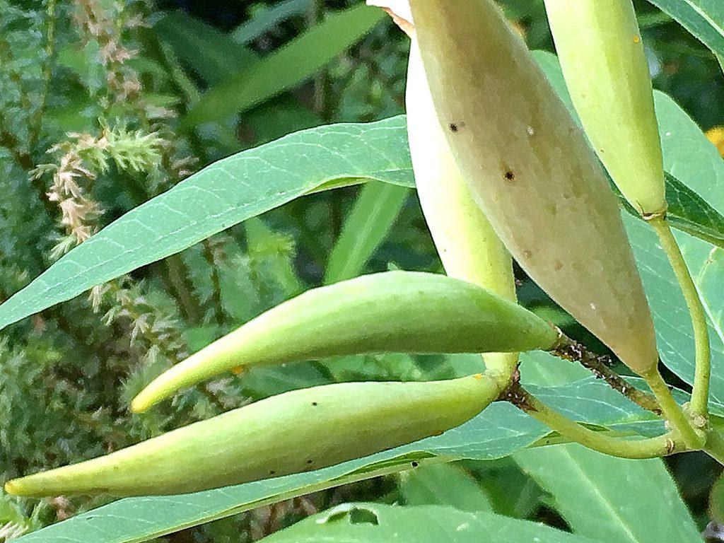 アスクレピアスの果実