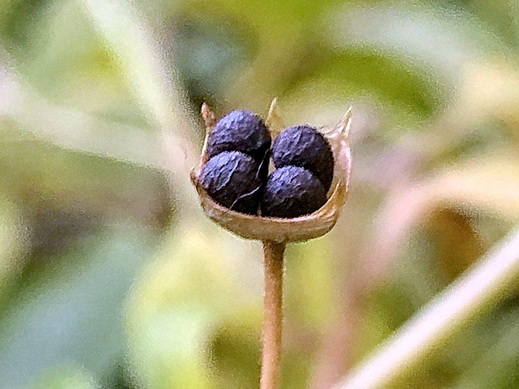 カリガネソウの果実