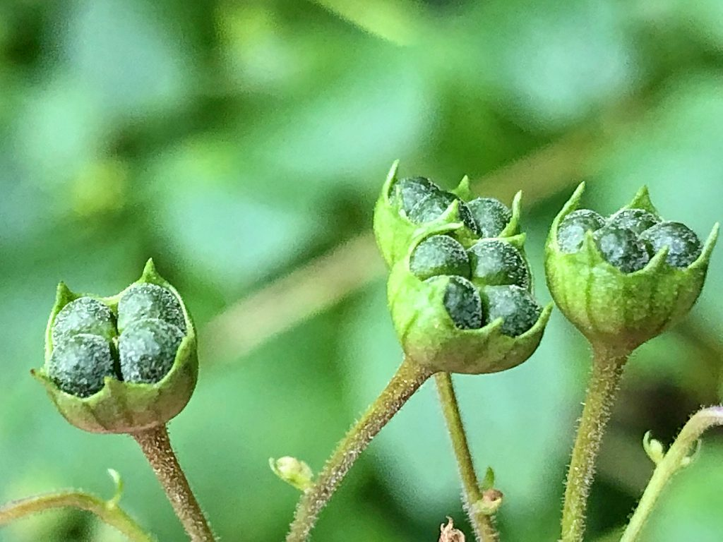 カリガネソウの若い果実
