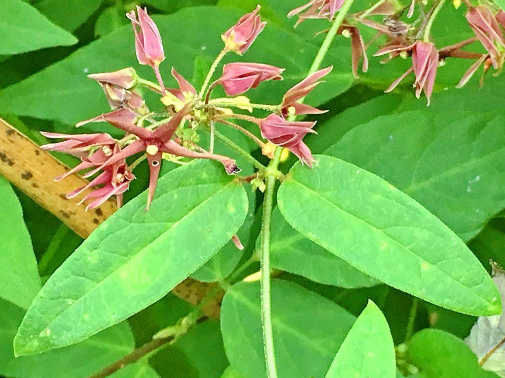 コバノカモメヅルの葉
