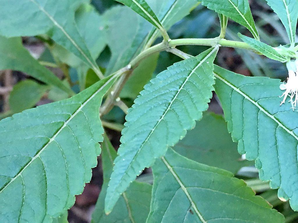 シモバシラの葉