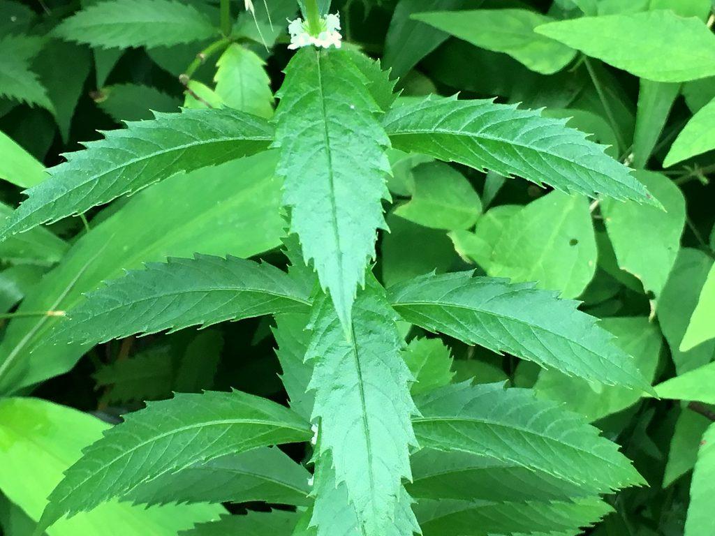 シロネの葉
