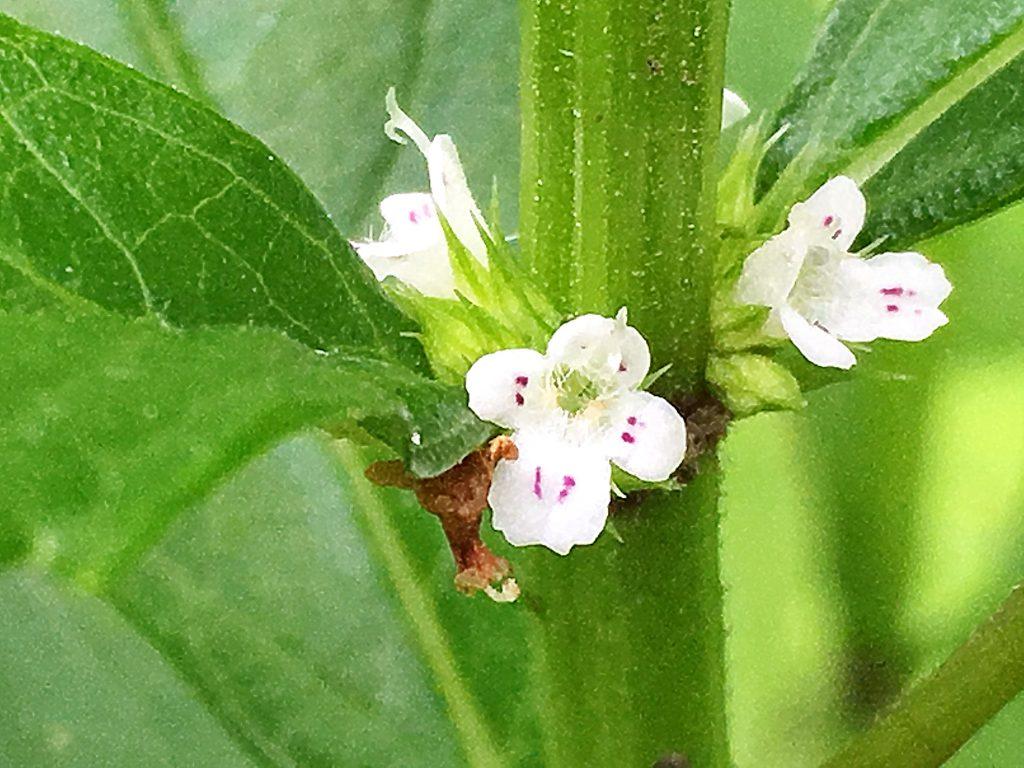 シロネの花