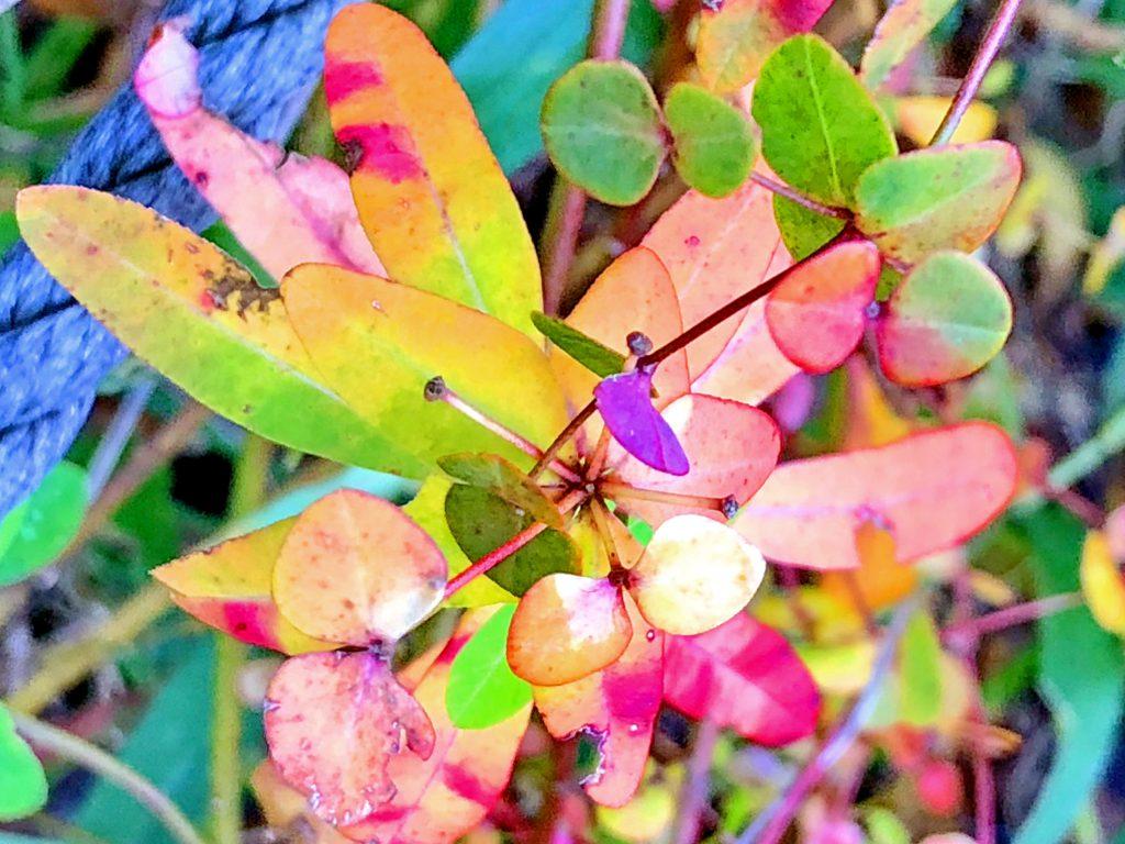 タカトウダイの草紅葉