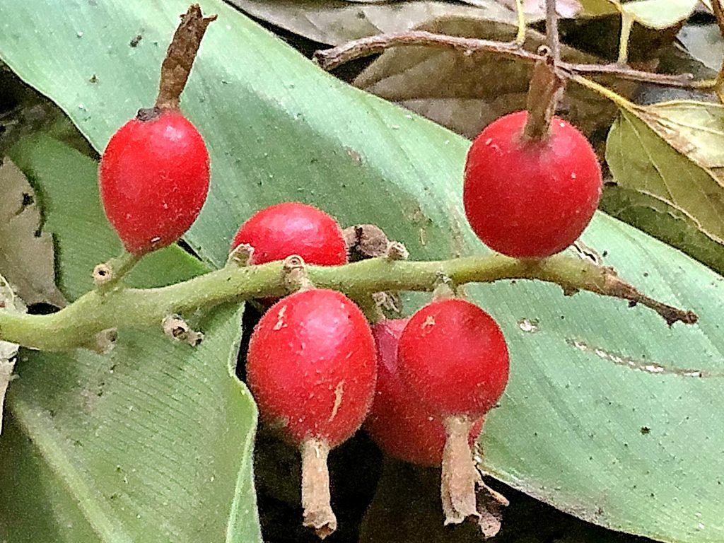 ハナミョウガの果実