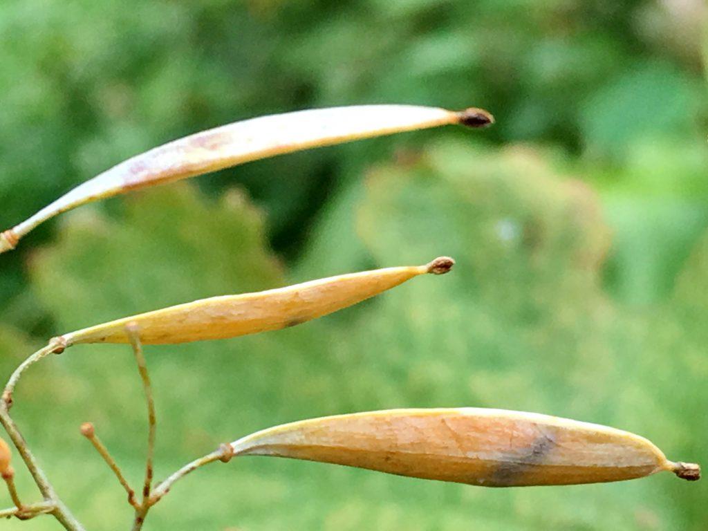 タケニグサの果実