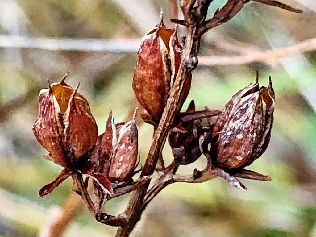 ミズオトギリの果実