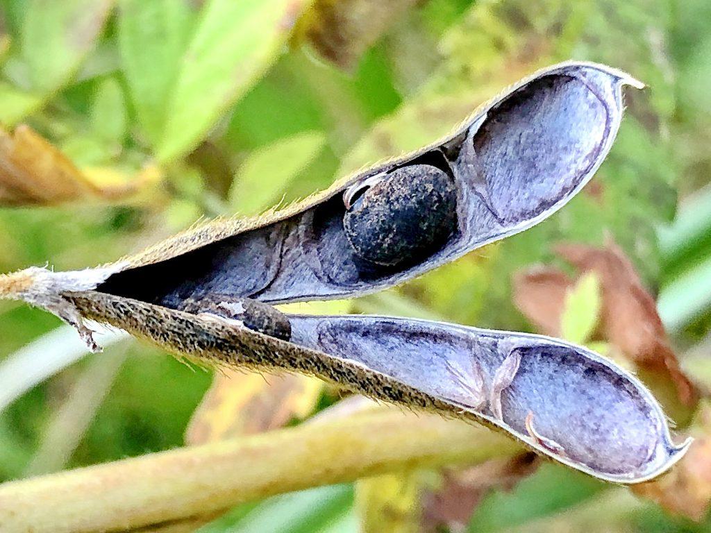 ツルマメの種子