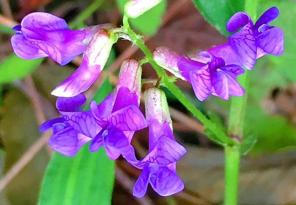 ナンテンハギの花