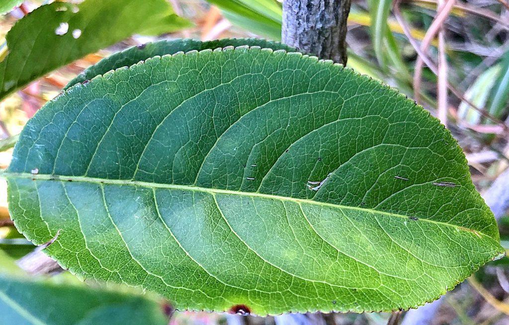 マユミの葉