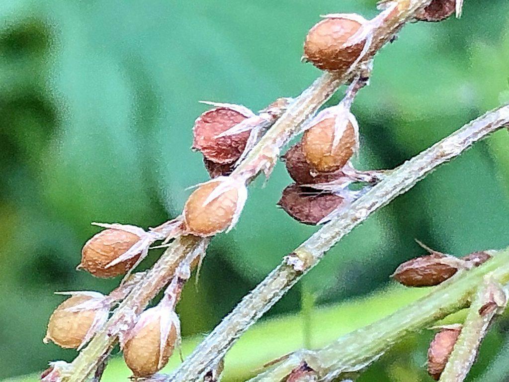 メドハギの果実