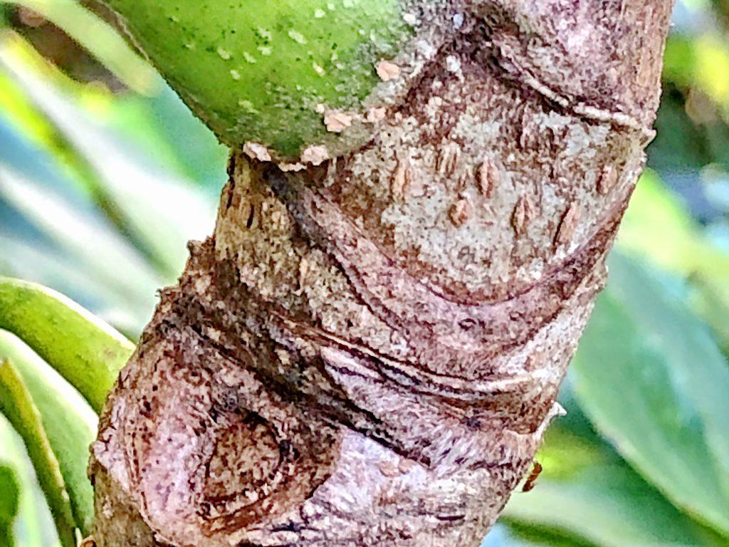 ヤツデの葉痕