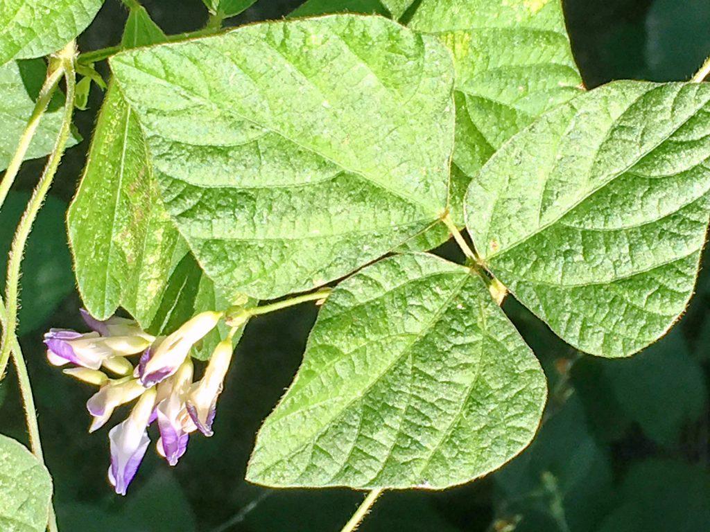 ヤブマメの葉
