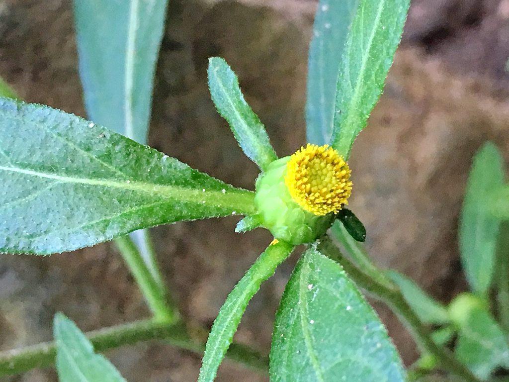 ガンクビソウの花