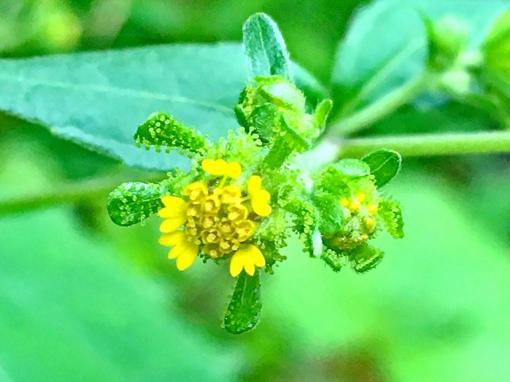コメナモミの花
