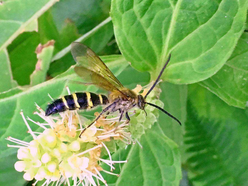 テンニンソウにヒメハラナガツチバチ