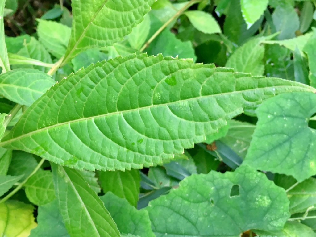 テンニンソウの葉