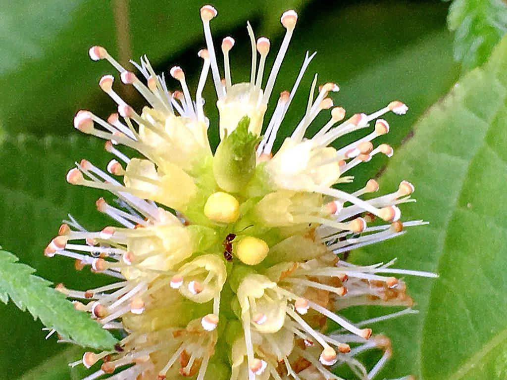 テンニンソウの花