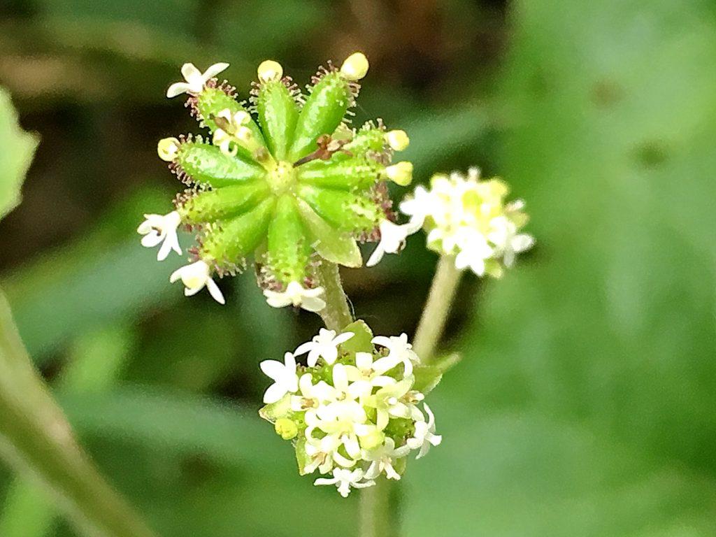 ノブキの花